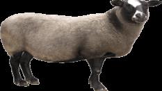 Adaklık Kurbanlık Koyun